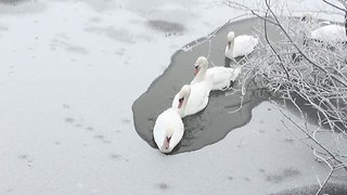 Ice-Breaking Swans Bust Through Frozen Pond at the Attenborough Nature Reserve