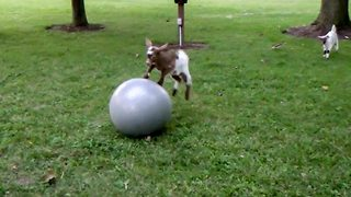 That's baaaarmey! Baby goats caught kidding around with exercise ball - Video