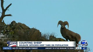 Counting sheep: Wildlife officers keep tabs on Bighorn sheep population