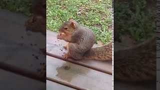 Squirrel Does Not Like Being Called Fat - Video