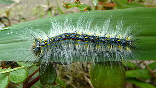 Colorful caterpillar of a Lappet moth from Ecuador
