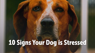 10 Signs Your Dog is Stressed - Video
