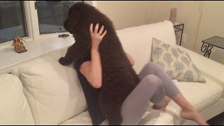 3-month-old Newfoundland shows off fluffy cuteness