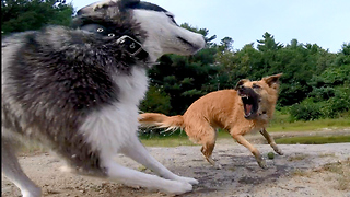 "Poor Siberian Husky: ""Why can't I get a turn?"" - Video"