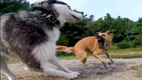 """Poor Siberian Husky: """"Why can't I get a turn?"""""""