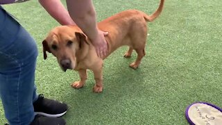 This 10-year-old basset hound mix needs a good home