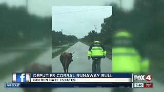 Collier deputies corral loose bull - Video