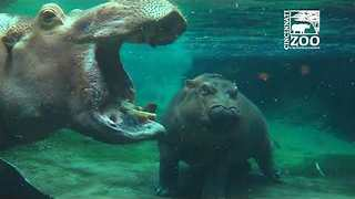 Henry the Hippo Back with Family After Illness at the Cincinnati Zoo - Video