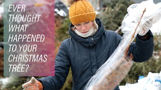 Recycling Russia's evergreens - Video