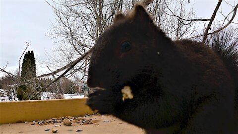 Hungry squirrel performs perfect 'Cookie Monster' imitation