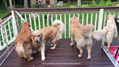 Great Dane enjoys vacation visit with four Golden Retrievers