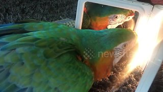 Confused parrot is transfixed by own reflection - Video