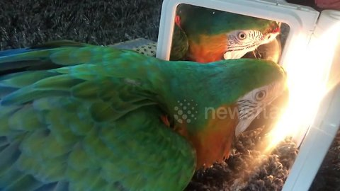 Confused parrot is transfixed by own reflection