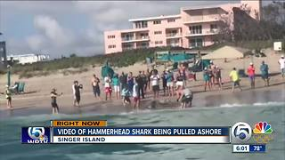 Video of hammerhead shark pulled ashore on Singer Island - Video