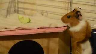 Guinea Pig Shows Initiative in Collecting Snacks - Video