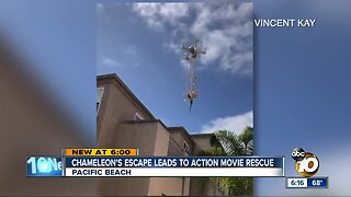 Pacific Beach man saves blind chameleon with drone