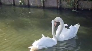 Swans Reunited After Weeks Apart Embrace In Loving Swan Dance - Video