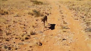 Making a rescued cheetah exercise before getting fed - Video