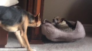 Hilarious video shows a dog dragging around an older pooch in his bed