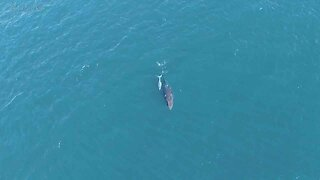 Dad-of-two Captures Amazing Drone Footage Of Incredibly Rare Albino Humpback Whale Calf