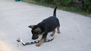 German Shepherd puppies take on robot snake