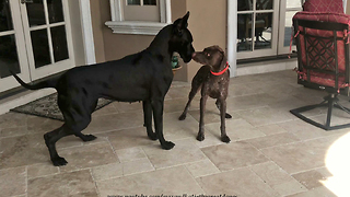 Funny Great Dane plays with pool-loving pup
