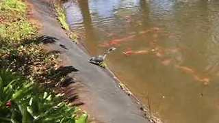 Cunning Heron Snags Fish From Pond - Video