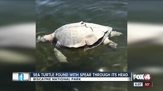 Biscayne National Officers search for person responsible for spearing a sea turtle