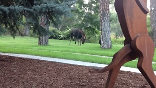 Moose Wrestles a Tire Swing in Spokane, Washington - Video