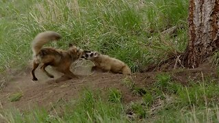 Stop badgering me! Fierce mother fox fights intrusive badger in order to try and save her babies