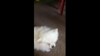 Lovely kinkin dog - Video