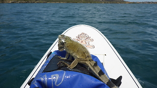 Paddleboarder Takes Lost Iguana On A Cruise Across Curacao