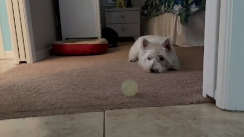 Westie plays with ball in the most adorable possible way