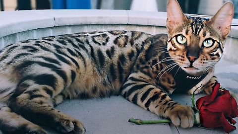 Pet of the Week: Harry and Izzy Bengal Cats