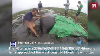 Stranded Manatees Saved By Irma Rescuers | Rare News - Video