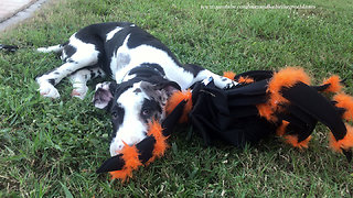 Great Dane puppy plays with his spider Halloween costume