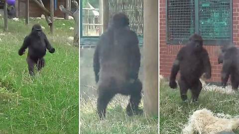 Watch This Playful Young Gorilla As He's Showing Off His Signature Walk