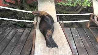 The Sea Lions Who Love to Lounge - Video