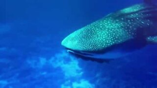 Divers swim with a rare whale shark