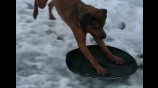 Clever Dog Figures Out How To Go Sledding - Video