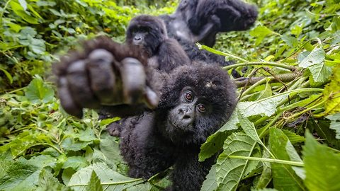 Gorilla family decimated in 2007 massacre is now thriving – and have shown off adorable new arrival in family portrait snaps