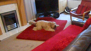 Wheaten Terrier gets extreme case of the zoomies playing with mom