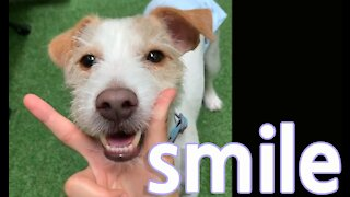 Jack Russell is extremely very good at smile