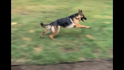 German Shepard hilariously refuses to come inside and gets the zoomies!