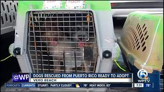 Dogs rescued from Puerto Rico ready to adopt in Vero Beach - Video