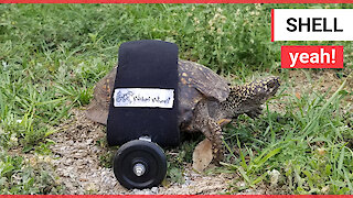 Disabled tortoise who was hit by a truck can zip around his garden again thanks to new wheelchair