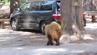 California black bear approaches man and roams through car park - Video