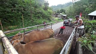 Farmers evacuate cattle after Mount Agung eruption - Video