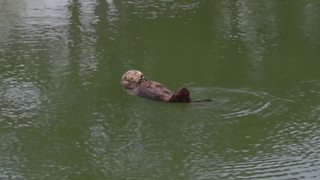 Cute sea otter takes a bath before napping - Video