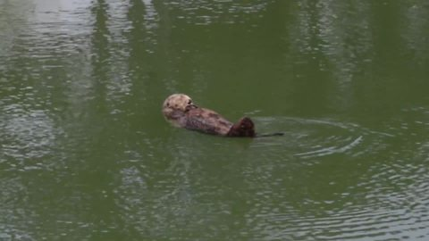 Cute sea otter takes a bath before napping